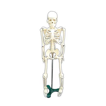 Skeleton (M)